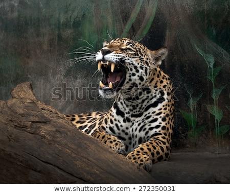Jaguar's mouth Stock photo © jsnover