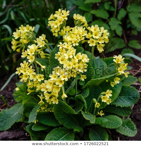 Amarelo prímula crescente flor folhas Foto stock © alexandkz