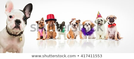 cute mops puppy dog wearing clothes Stock photo © feedough