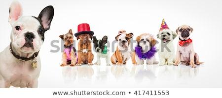 bonitinho · cachorro · cão · roupa · olhando - foto stock © feedough