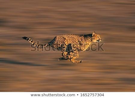 Fut gepárd terv fekete minta állat Stock fotó © perysty