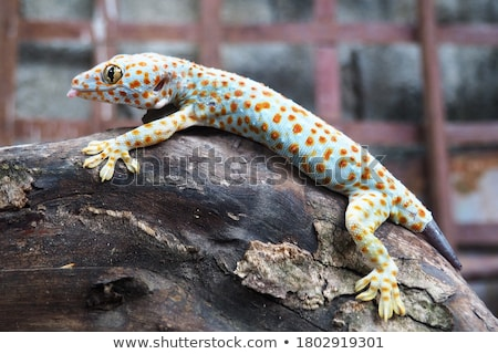Gecko Stock photo © macropixel