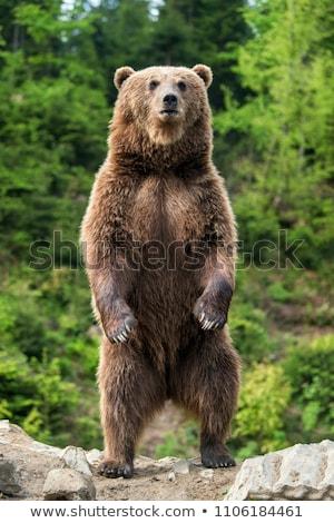 Portret een bruine beer zomer dag hout Stockfoto © OleksandrO