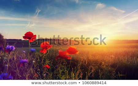 beautiful red poppy poppies in green and blue closeup Stock photo © juniart