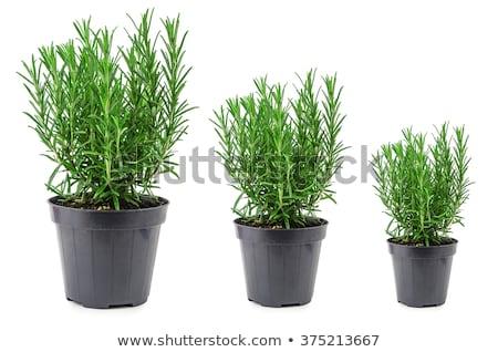 Biberiye sepet beyaz bitki Stok fotoğraf © doupix