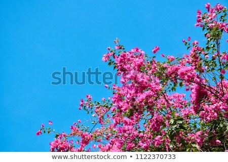 Belo rosa magenta flores blue sky verão Foto stock © juniart