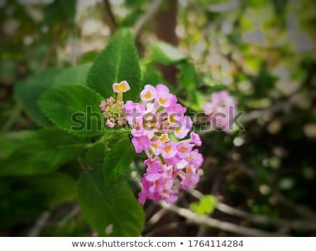 Salvia tela oro vintage jardín de flores Foto stock © sweetcrisis
