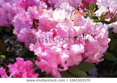 Pink Azalea blooming bush Stock photo © Julietphotography