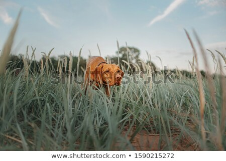 the portrait of hungarian short haired pointing dog stock photo © capturelight