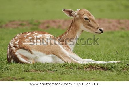 Fallow deer lying in the grass Stock photo © romitasromala