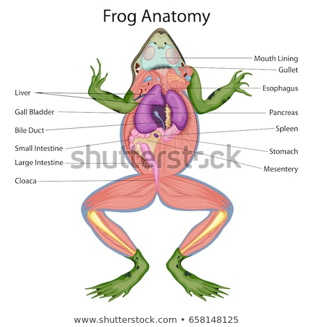 frog anatomy Stock photo © 7activestudio