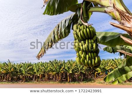 Banaan boom plantage Thailand voedsel Stockfoto © smithore