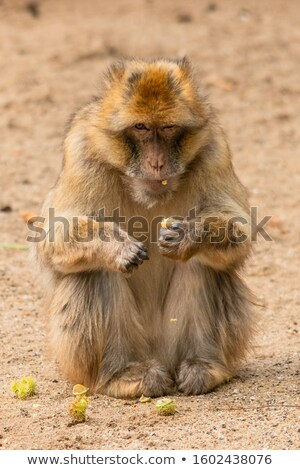 Grumpy Barbary Macaque (Macaca sylvanus) Stock photo © michaklootwijk