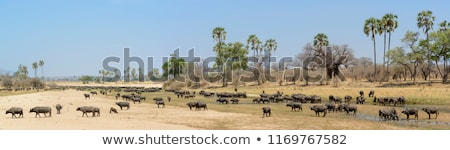 African Buffalo Herd Stock photo © fouroaks