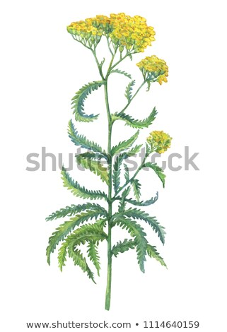 Yarrow watercolor illustration. Hand drawn herb  Stock photo © artibelka