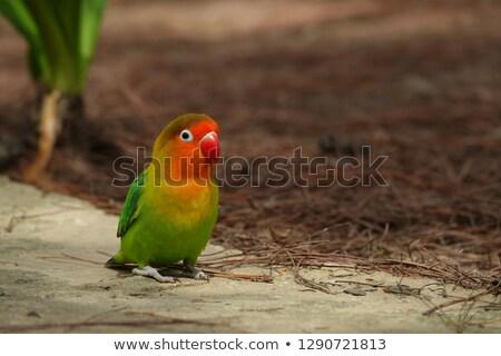 Ptaków młodych niebieski papużka falista oka Pióro Zdjęcia stock © fouroaks