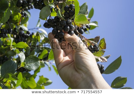 Hand picking ripe aronia berry fruit from the branch Stock photo © stevanovicigor