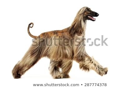 afghan hound dancing in the white studio stock photo © vauvau