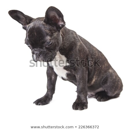 puppy bulldog sitting and looking down in white studio Stock photo © vauvau