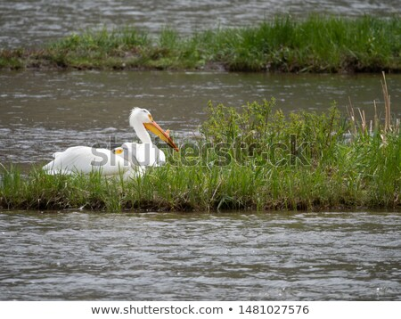 Pair of pelicans wading in a pond. stock photo © shutter5