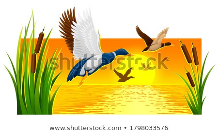 Wild ducks soaring from reeds on lake Stock photo © LoopAll