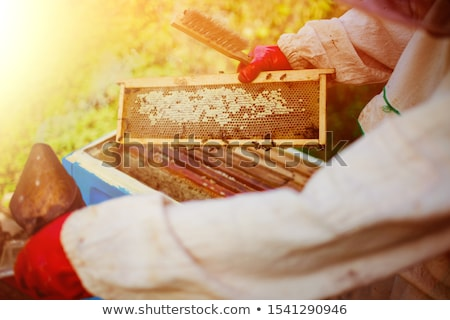 Beekeeper holds frame with honeycomb out of beehive Stock photo © Virgin