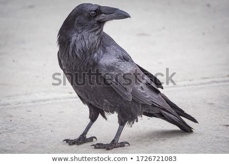Stock foto: Portrait Of Black Crow Standing - Common Raven