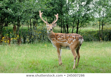 Stock photo: Whitetail Deer standing in summer wood