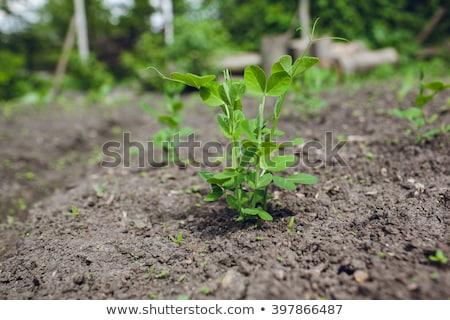 Genç bezelye büyümek yatak gıda yaprak Stok fotoğraf © Virgin