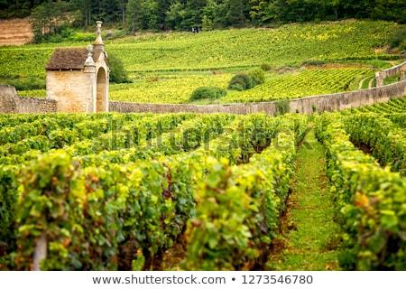 Vineyard in Burgundy Stock photo © Hofmeester