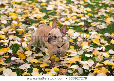 Cute · белый · щенков · собака · листьев · осень - Сток-фото © yhelfman