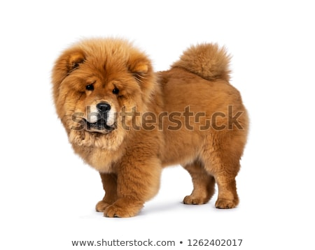 adorable chow chow stands and looks down to side Stock photo © feedough