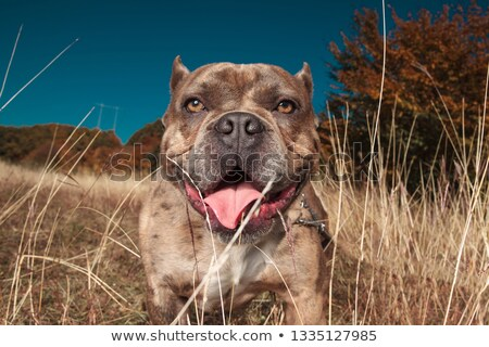 American bully standing with tongue exposed behind grass Stock photo © feedough