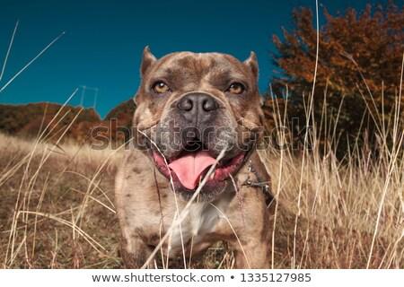 Americano pie lengua detrás hierba Foto stock © feedough