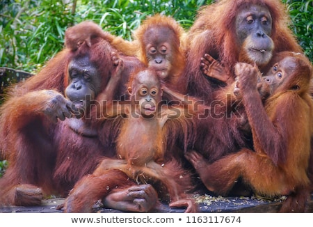 A playful red orangutan Stock photo © colematt