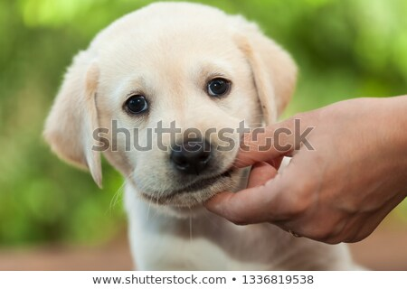 cute labrador puppy dog chewing on owners finger   close up stock photo © ilona75