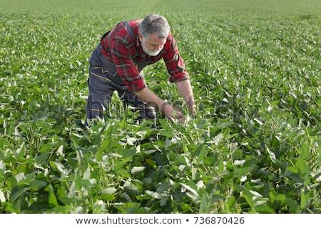 Soy bean harvest in field, farmer examine crop Stock photo © simazoran