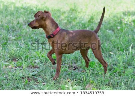 Ayakta minyatür yeşil ot çim hayvan evcil hayvan Stok fotoğraf © vtls