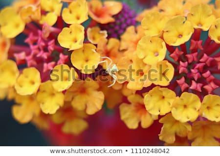 Crab spider on daisy flower Stock photo © Musat