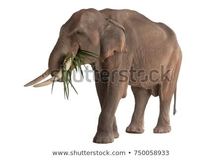 アフリカゾウ 食べ 茂み 草 顔 緑 ストックフォト © poco_bw