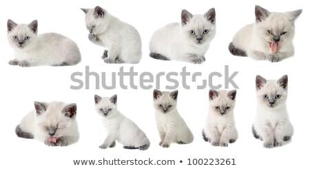 白 · 子猫 · 小さな · 目 - ストックフォト © cynoclub