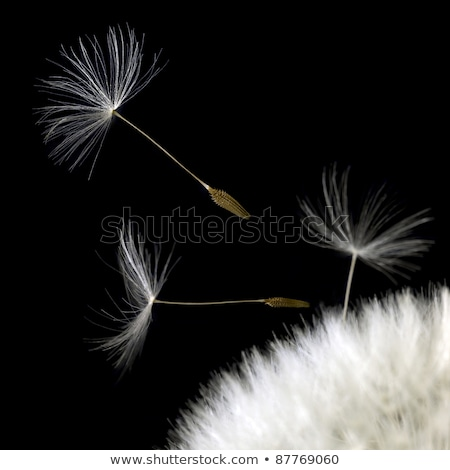 dandelion seeds closeup in black back Stock photo © prill