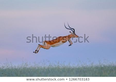 impala Stock photo © tiero
