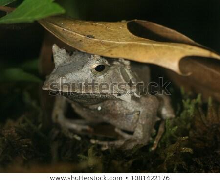 Solomon Island Leaf Frog Stock photo © ca2hill