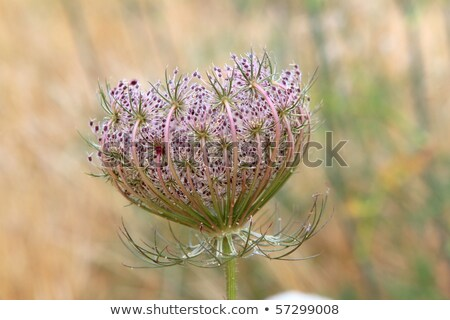 wild carrot daucus carota flower balearic islands Stock photo © lunamarina