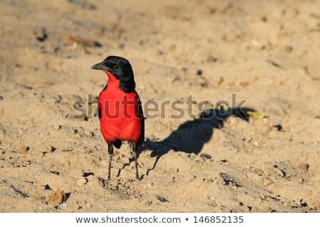 Bíbor színek piros vad szabad Afrika Stock fotó © Livingwild