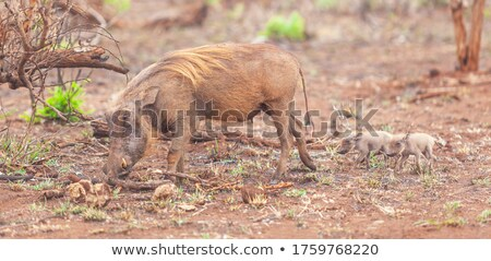 three warthogs grazing in the wild stock photo © avdveen