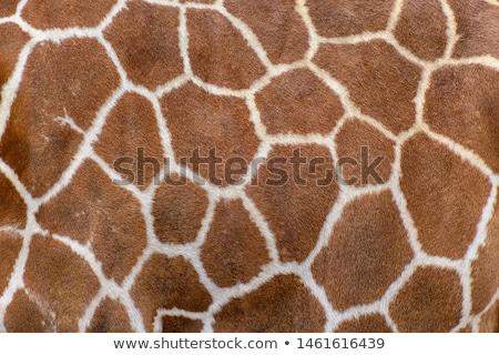 giraffe skin texture stock photo © artush