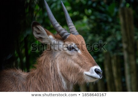 female impala with green grass isolated Stock photo © anan