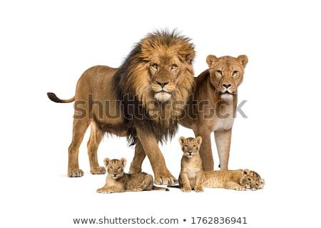 лев семьи матери два молодые младенцы Сток-фото © c-foto